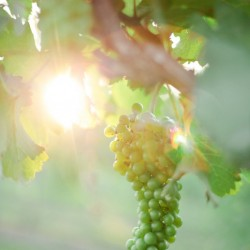grapes with sun