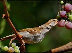 bird eating grapes
