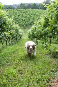 chianti-in-vineyard